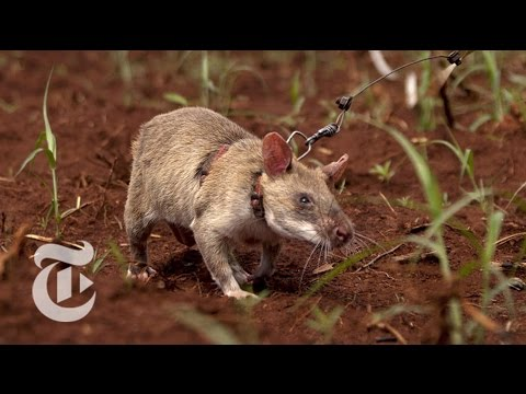 The Mine-Sniffing Rats of Africa | Nicholas Kristof | The New York Times