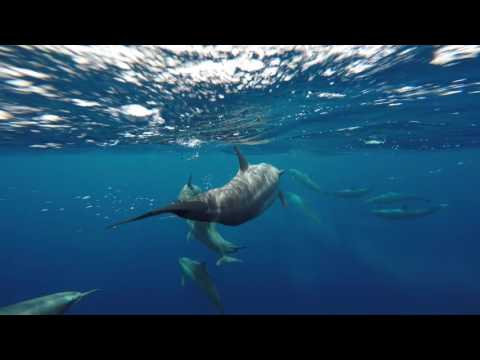 The Dolphins of Apo Island, Philippines.  Best surface interval ever!