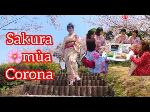 Ngắm HOA ANH ĐÀO ,sakura mùa corona Nhật Bản . Ngồi ăn ở gốc cây SAKURA . Cuộc sống Nhật