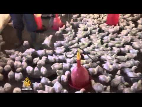 11683 governance economics Al Jazeera Zambia poultry farmers expect a boom  after Chinese farmers ban