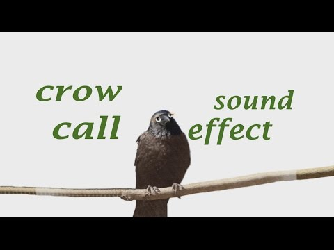 The Animal Sounds: Crow Call - Sound Effect - Animation