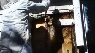 Beekeeping: Beehive In Wall Removal.