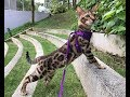 Living with Bengal Cats