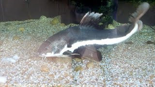 TL's IMMENSE Catfish GROWTH POTENTIAL (RTC/WALLAGO/PAROONS) (17/7/2013) thumbnail