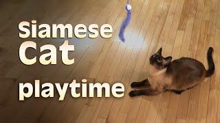 Siamese Cat playtime