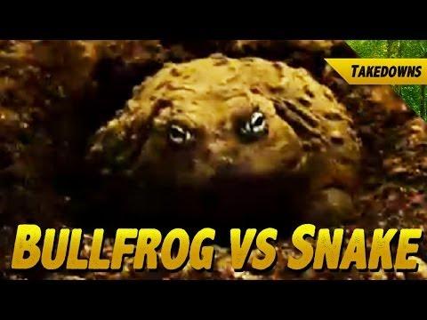 Huge Bullfrog Eats a Herald Snake