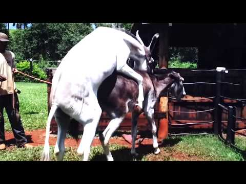Hybrid Horse Donkey Mating with Burro thumbnail