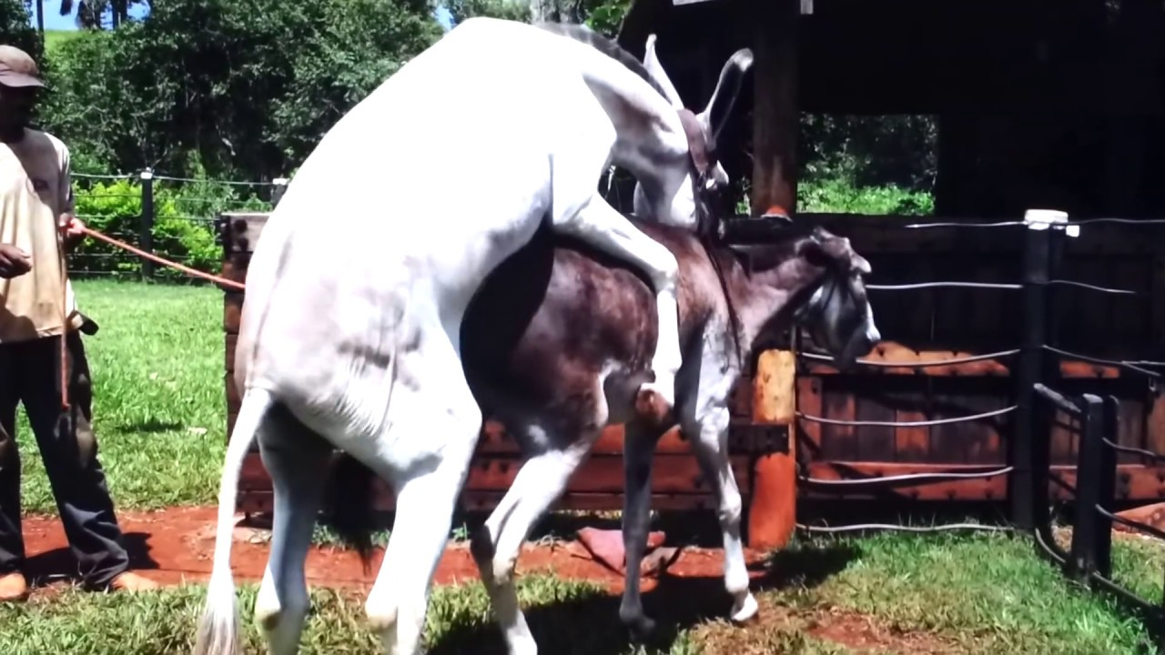 Hybrid Horse Donkey Mating with Burro #1