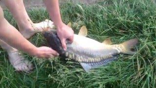 Рибалка... с. Торговиця Карп 4.6 кг