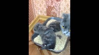 Шотландские котята - 1 месяц