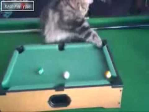 Cat Playing Snooker | Cat Playing Pool – Funny Vine Videos