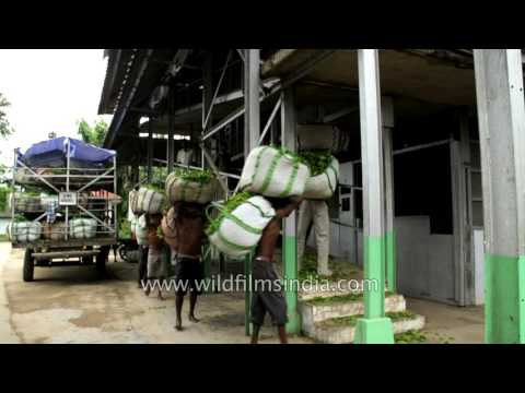 Workers Unload Tea Leaves From Truck In Assam