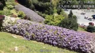 サポーター名:しもじぃ☆ 藤の花の名所の1つである河内藤園。 GW中は混雑...