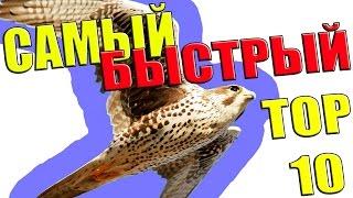 Самое быстрое животное, птица в мире. Топ 10 самых быстрых живых существ на Земле.