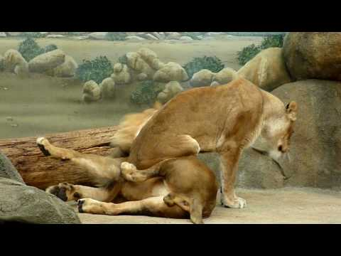 Female lion sitting on a male lion at the Milwaukee Zoo
