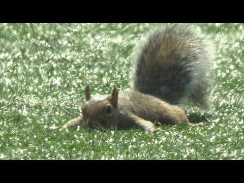 Squirrel On The Field! Runs For A 'Touchdown'