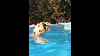 Beautiful Under Water White Labrador Retriever