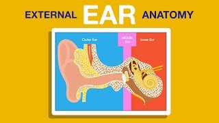 What is External Ear Anatomy ?