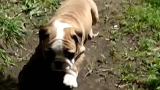 Щенок английского бульдога, девочка, видео 2