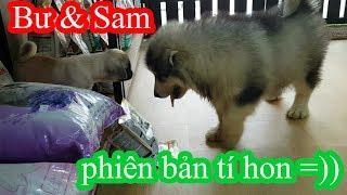 Alaska Sam & Pug Bư phiên bản tí hon - Quậy phá như quỷ =)) PUGK PET