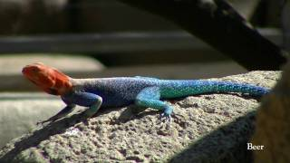 """""""Bud"""" Lizards Miss Their Chance for Stardom - Don"""