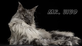 Mr. ViVo | Most handsome Maine Coon cat in the world.