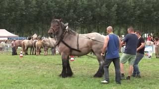 Belgisch Trekpaard, kampioen Narco