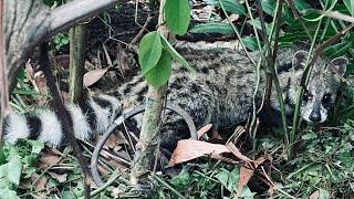 #35 Quái Vật 4 Chân Hung Hăng Quá Nhanh Quá Nguy Hiểm Sa Bẫy Tại Rừng Campuchia