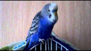 Говорящий волнистый попугай