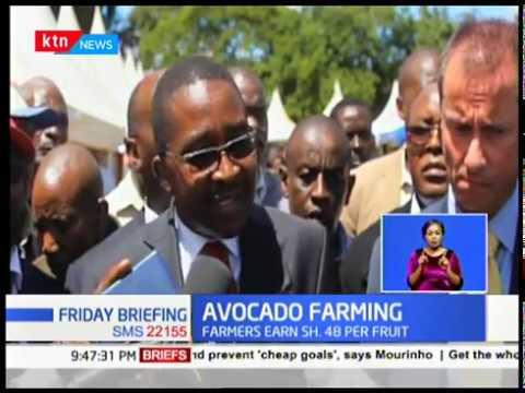 Avocado Farming: Murang\'a County signs MoU with Kakuzi, farmers earn Sh. 48 per fruit