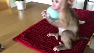 Download Video babay monkey Beo practiced playing soccer MP3 3GP MP4