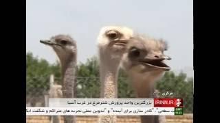 Iran Zarandieh county, Ostrich farming پرورش شترمرغ شهرستان زرنديه ايران