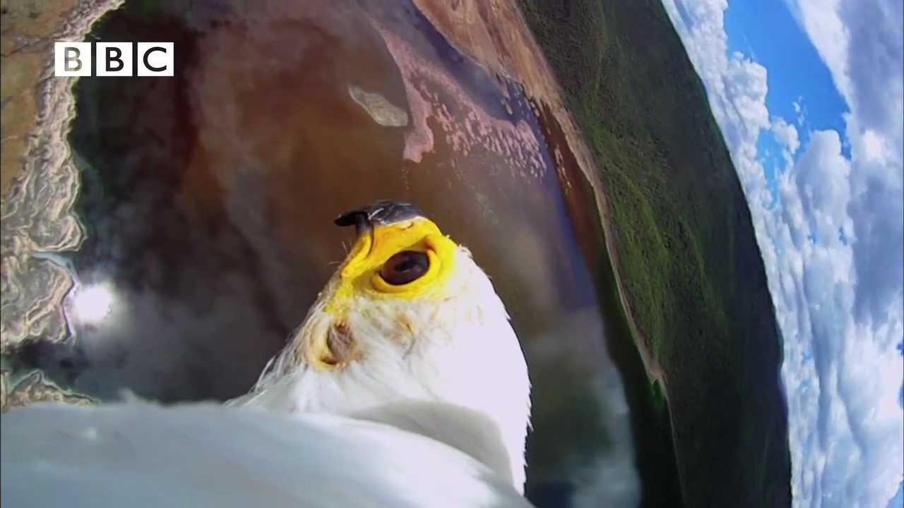 Download Earthflight (Winged Planet) - Spectacular Fish Eagle Hunts Flamingos (Narrator David Tennant)