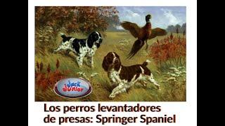 Perros levantadores de presas: Springer Spaniel