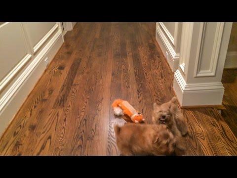 Norfolk Terriers Chasing the Orange Fox