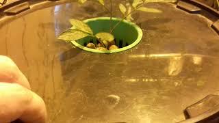днат 600. Пенино растет на гидропонике. томаты, мята, клубника, салат,горох.