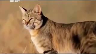 Абиссинская порода   необычные повадки для кошки
