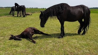 Siesta!😴 And again all foals sleep. Lianne is completely knocked out. Friesian Horses.