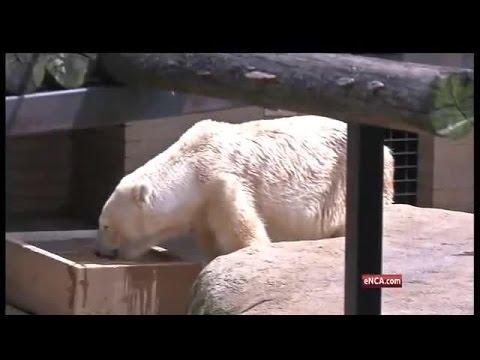 Last African polar bear dies