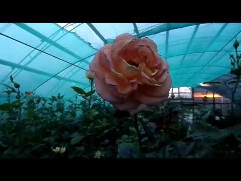Купить саженцы роз в ассортименте в интернет-магазине Hoga.ru