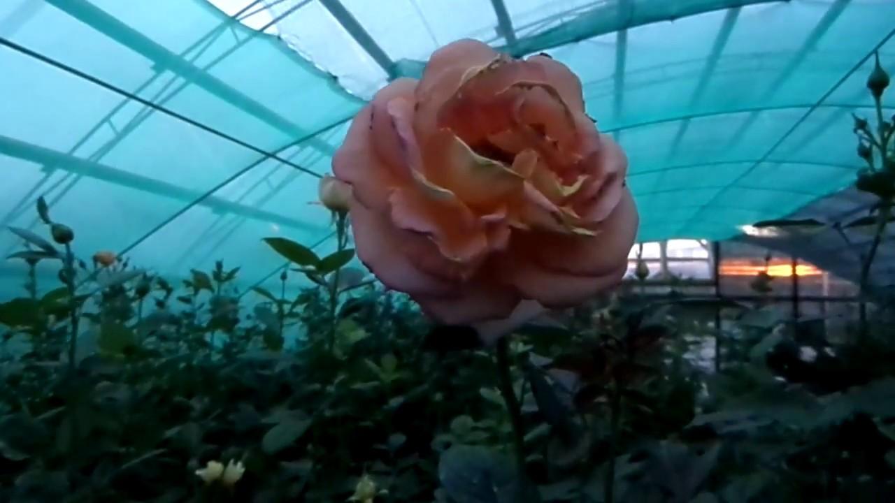 Саженцы от декоплант. Выращивание саженцев роз, плодово-ягодных культур, саженцев фруктовых деревьев и декоративных кустарников.