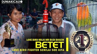 Video Dunia Kicau : INILAH! Love Bird Fighter TERMAHAL se-Indonesia, BETET Dibeli Mr Budi Senilai 500 jt download MP3, 3GP, MP4, WEBM, AVI, FLV Maret 2018