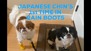 JAPANESE CHIN DOGS FIRST TIME IN RAIN BOOTS! SUPER CUTE AND FUNNY PUPPIES