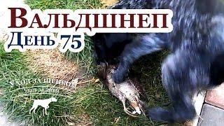 Знакомство щенков с вальдшнепом - Воспитание дратхаара - Уход за щенками день за днем - День 75