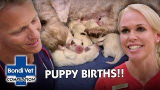 Most Emotional Puppy Births  | COMPILATION | Full Episode | Bondi Vet
