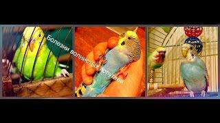 Болезни волнистых попугаев часть-1