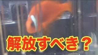 ストレスが溜まっているハマクマノミ【海水魚水槽】