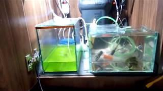 Разведение креветки Амано   Ничего не делаю уже три недели , соленость 25 личинки живые.