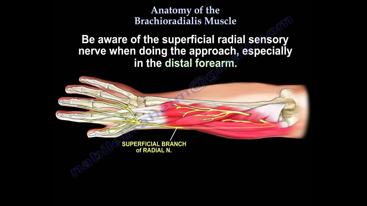 Anatomy Of The Brachioradialis Muscle - Everything You Need To Know ...