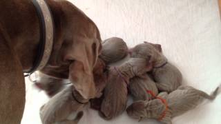 Jamie The Weimaraner's First Litter - Nine Newborn Weimaraner Puppies Akc